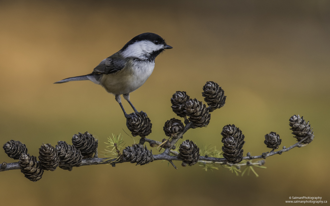Black-capped Chickadee (8)