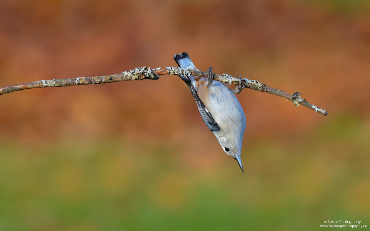 White-breasted-Nuthatch (1)