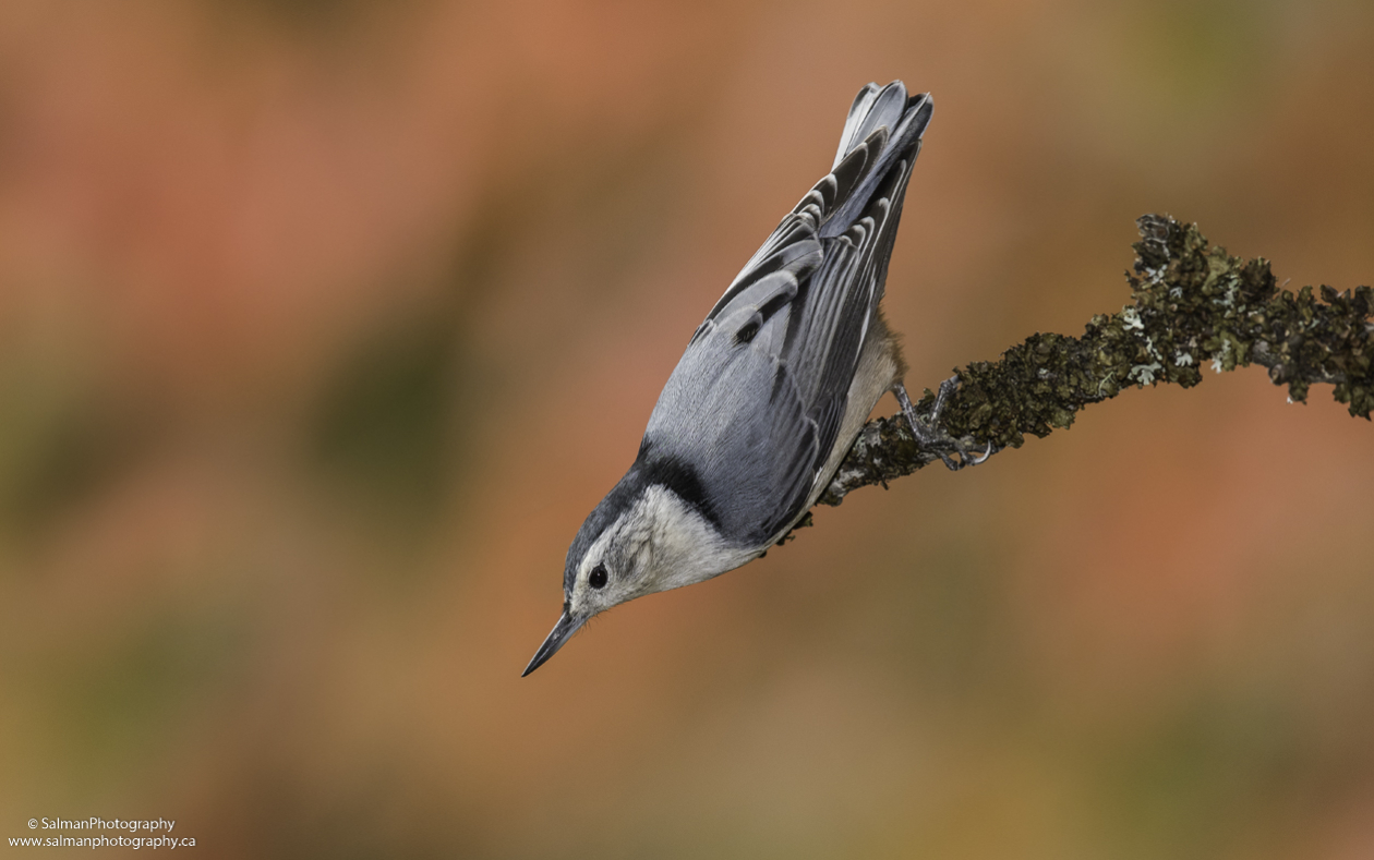 White-breasted-Nuthatch (11)