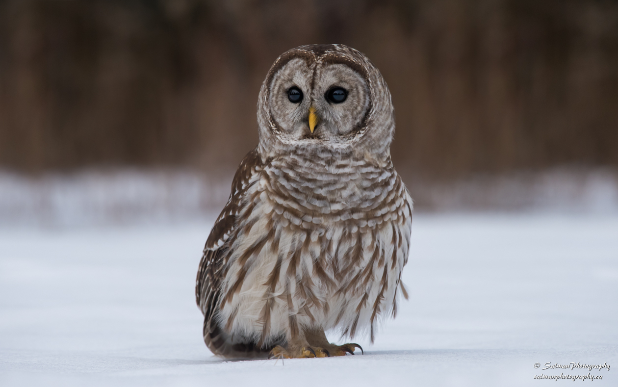 Barred Owl (6)