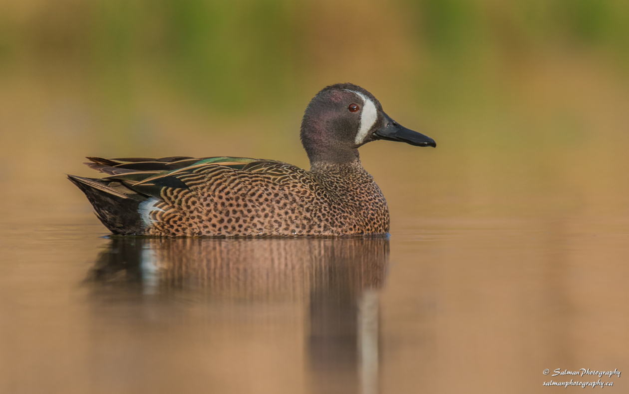 Blue winged Teal (6)