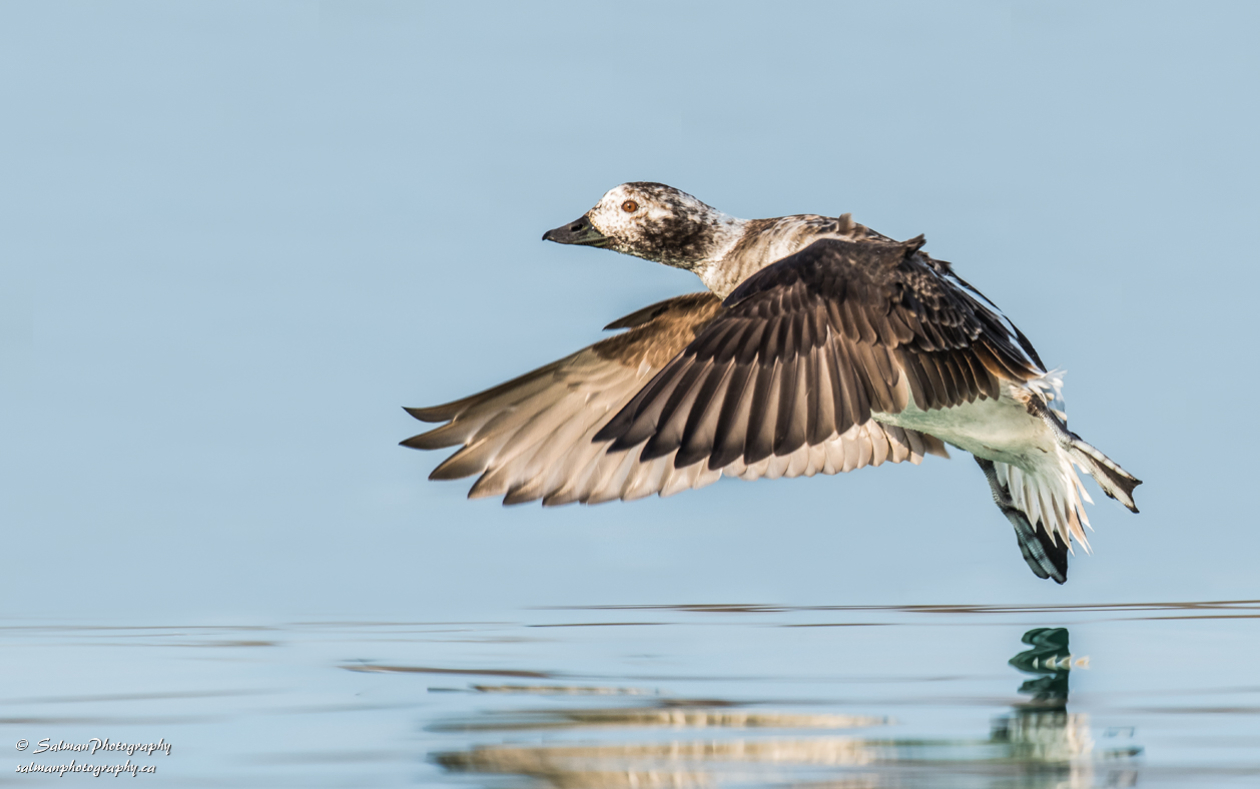 Long-tailed Duck (4)