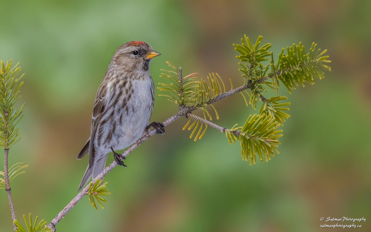 Common Redpoll (1)