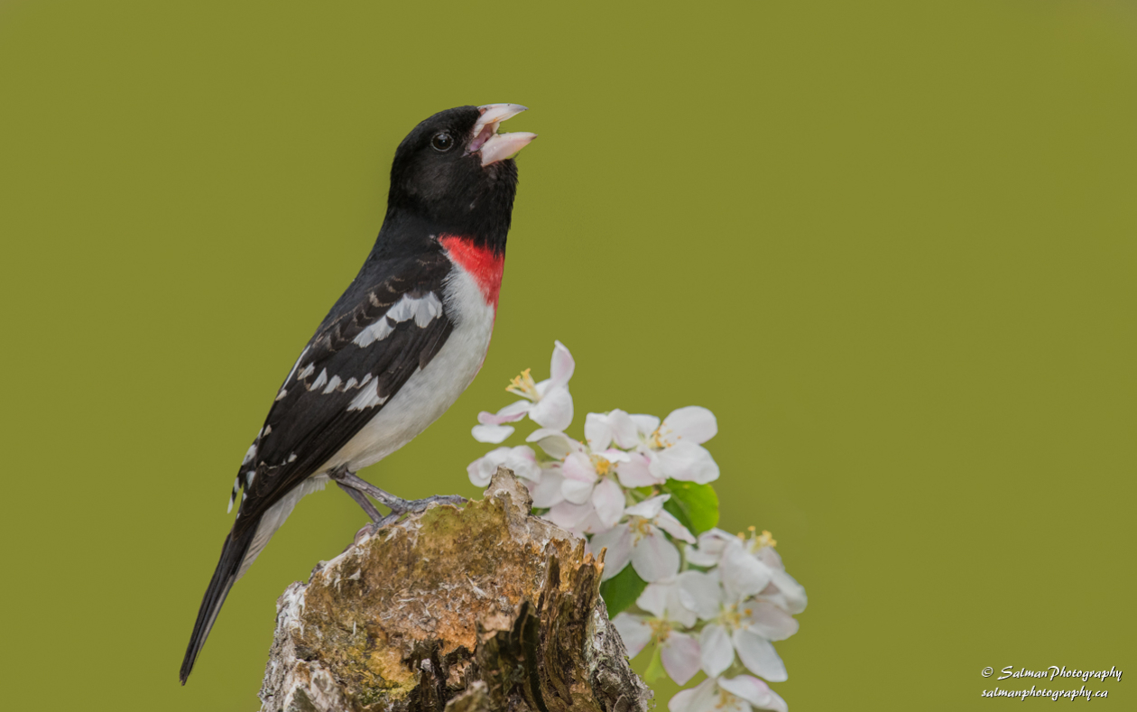 Rose-breasted Grosbeak (3)