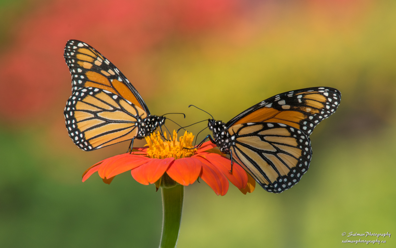 Monarch butterfly (1)