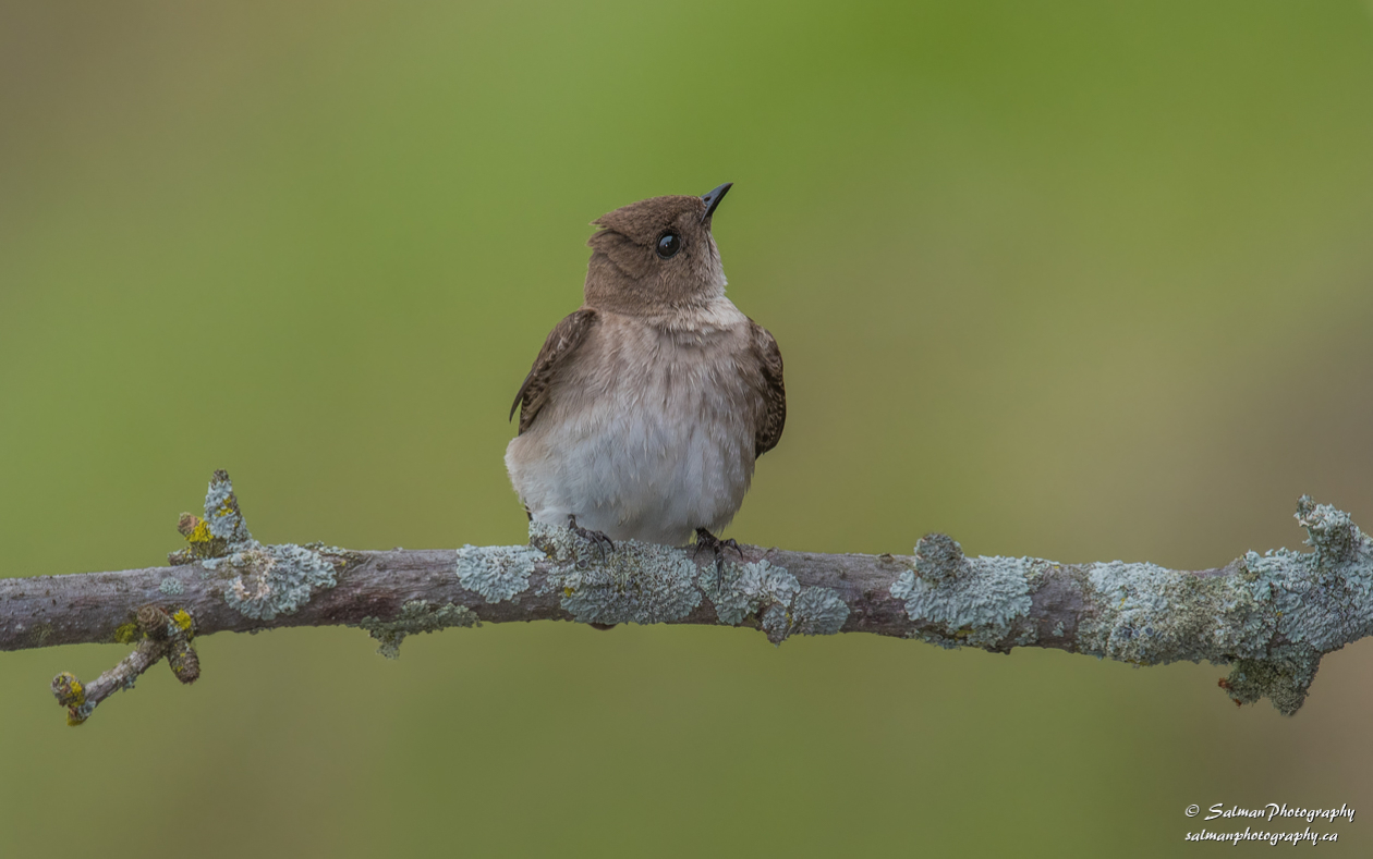Northern rough-winged Swallow (3)