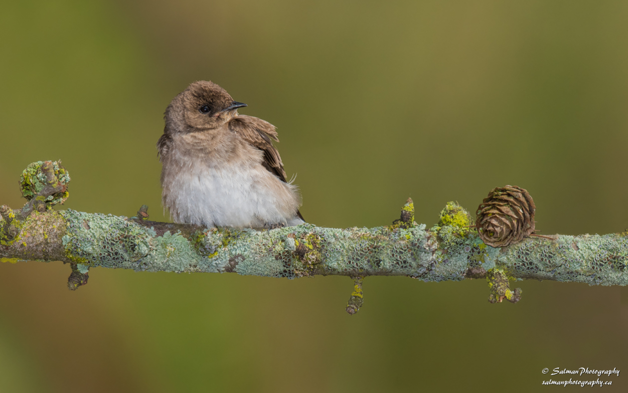 Northern rough-winged Swallow (6)
