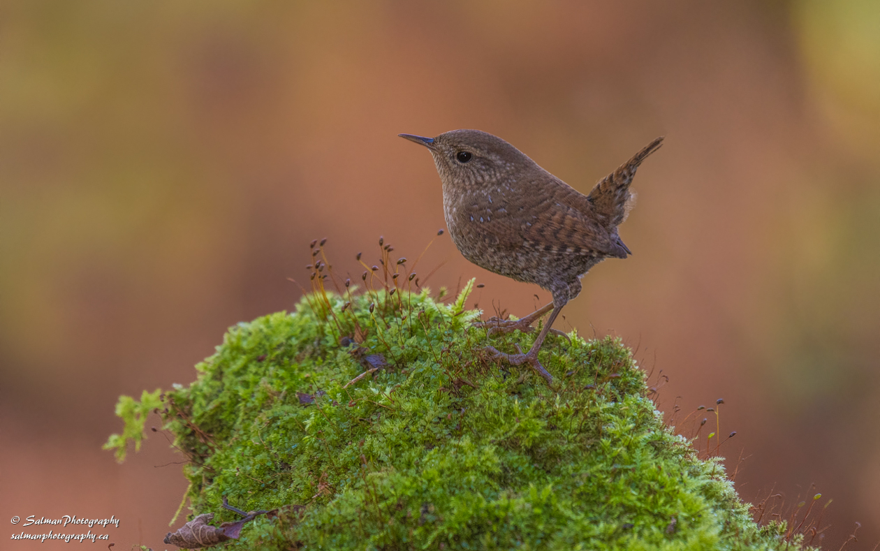 Winter Wren (2)