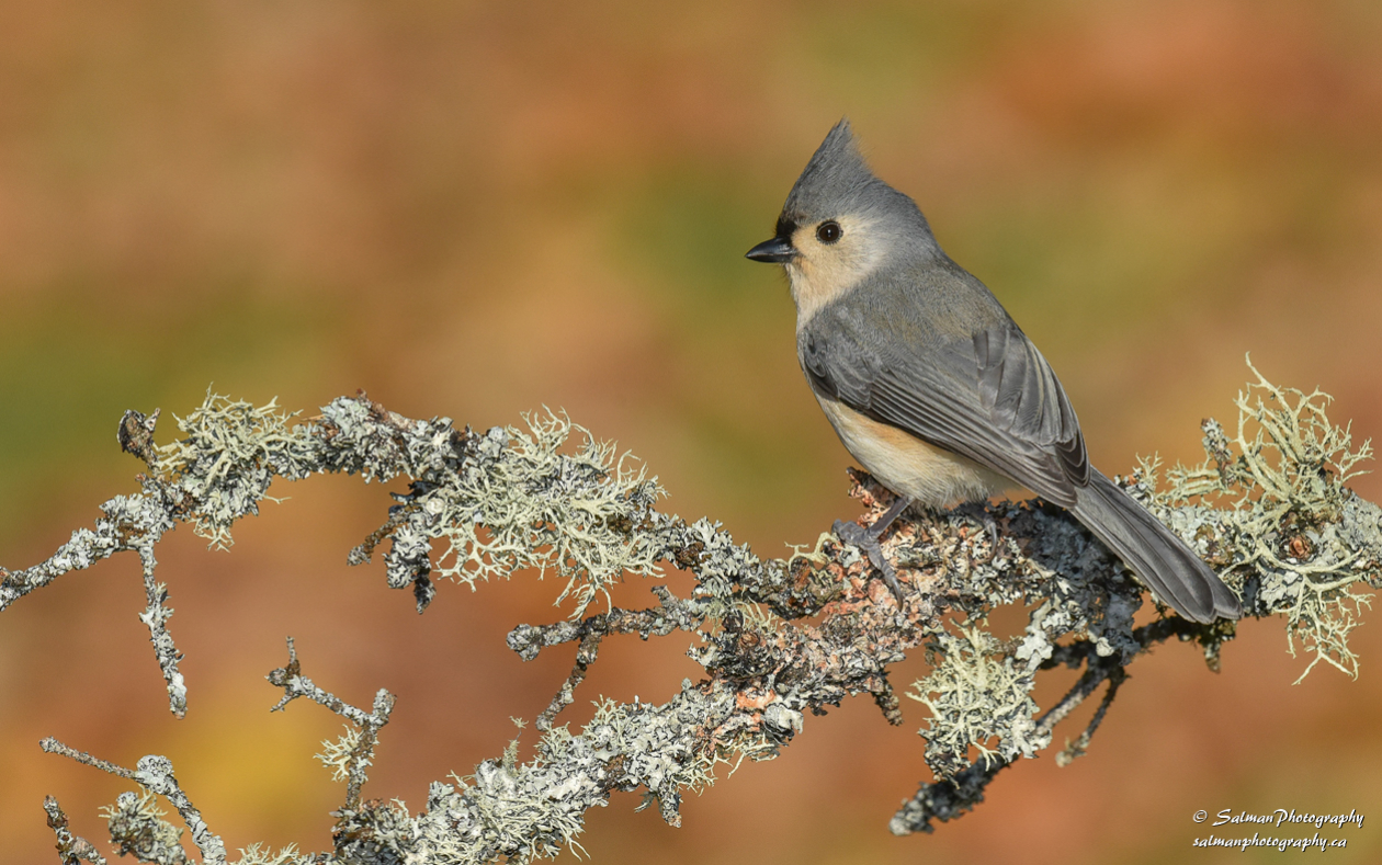Tufted Titmouse (11)