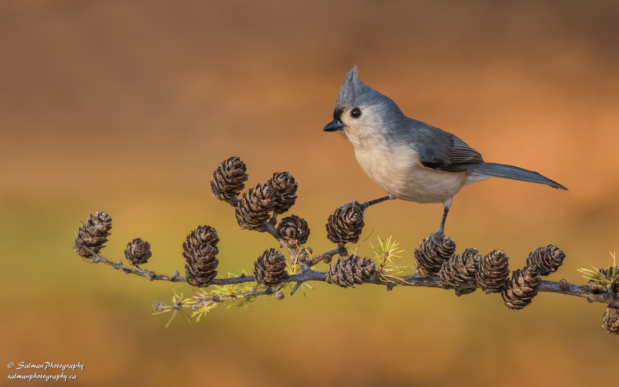 Tufted Titmouse (20)