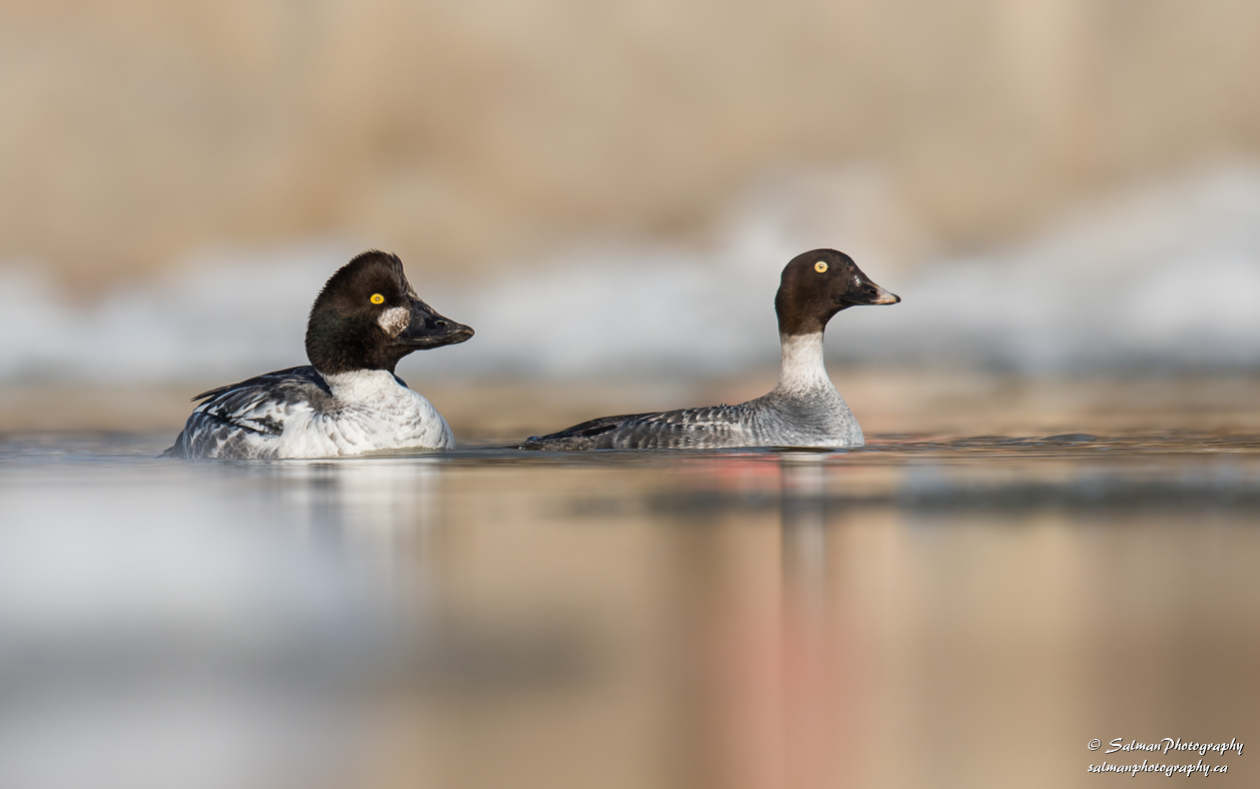 Common Goldeneye (6)