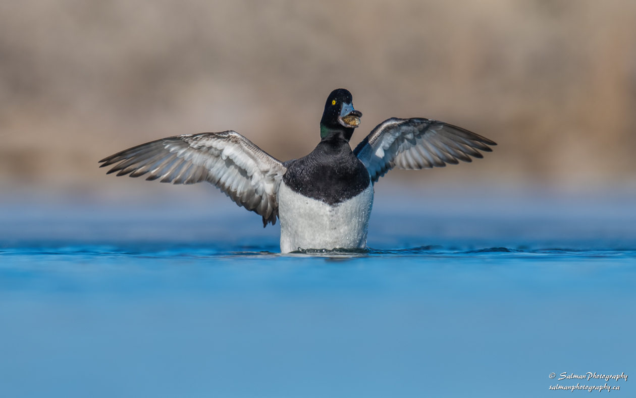 Greater Scaup (12)