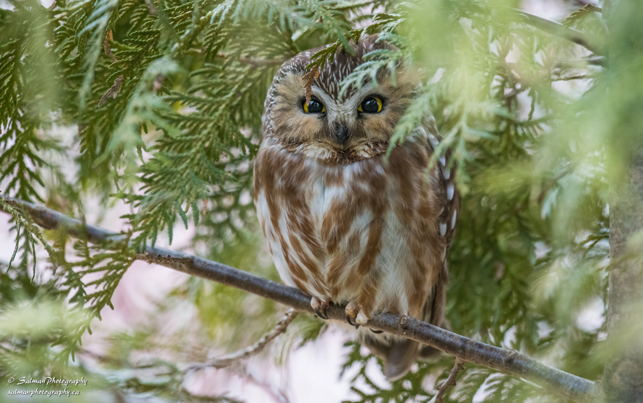Northern saw-whet owl (1)